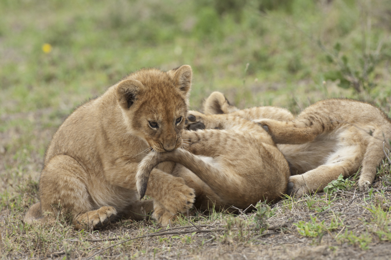Lion Cubs Wrestling Tail Hold 3
