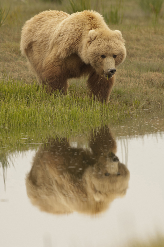 Brown Bear Blonde Reflections 1