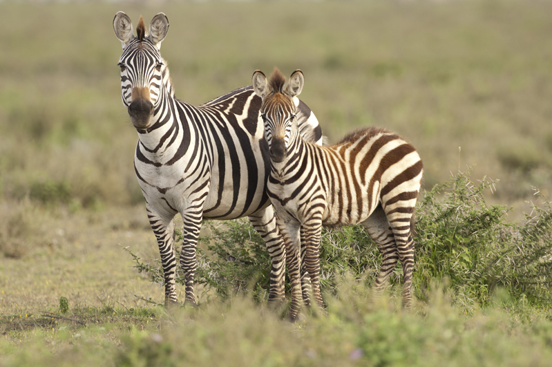 Zebra And Foal Standing Together 3