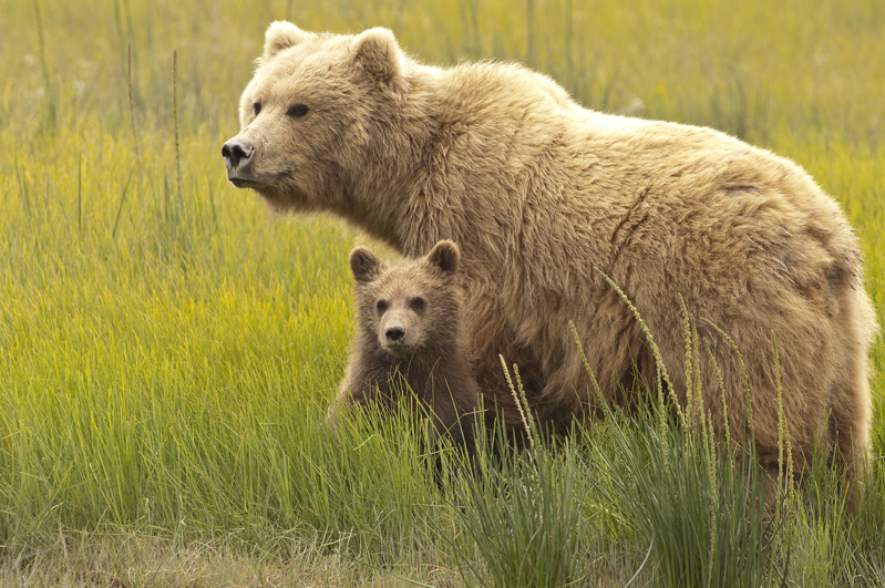 Brown Bear Mom And Cub Standing Together