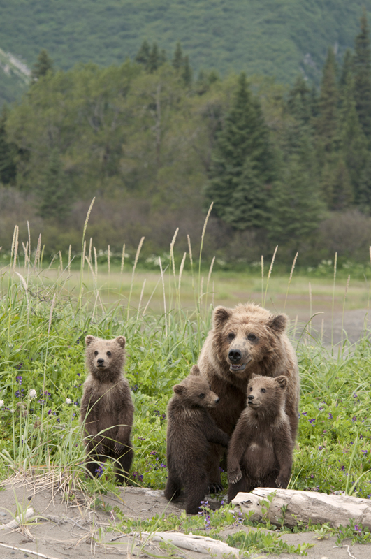 Brown Bear Triplets Huddled By Mom 5