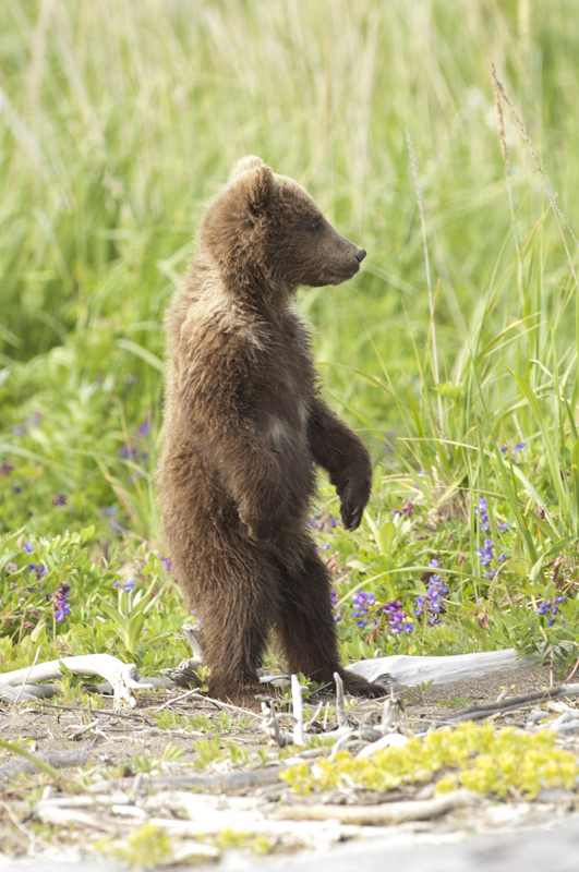 Bear Collared Cub Standing Looking 6