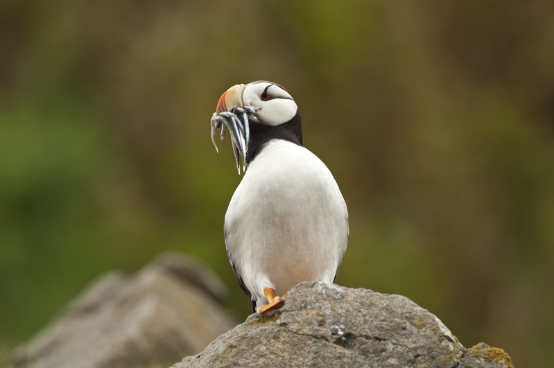 Horned Puffin Lookout 7