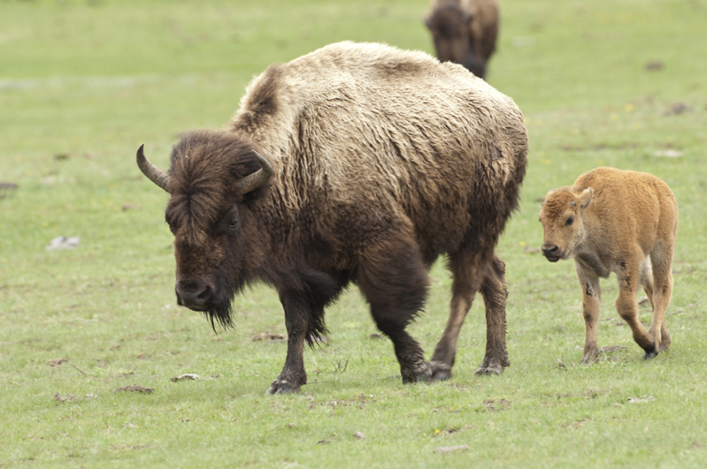 Bison And Calf Walking 1