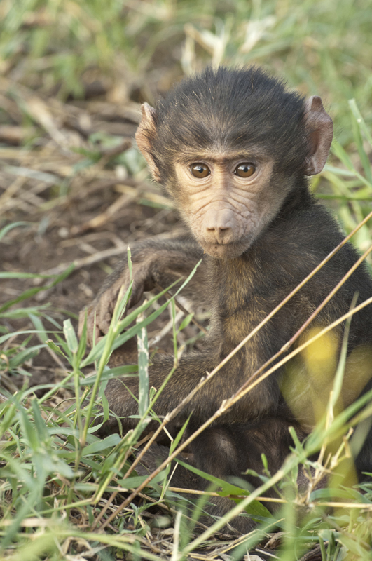 Baboon Baby Grass Seat