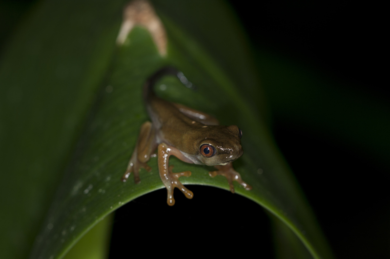 Red Eyed Frog Morph