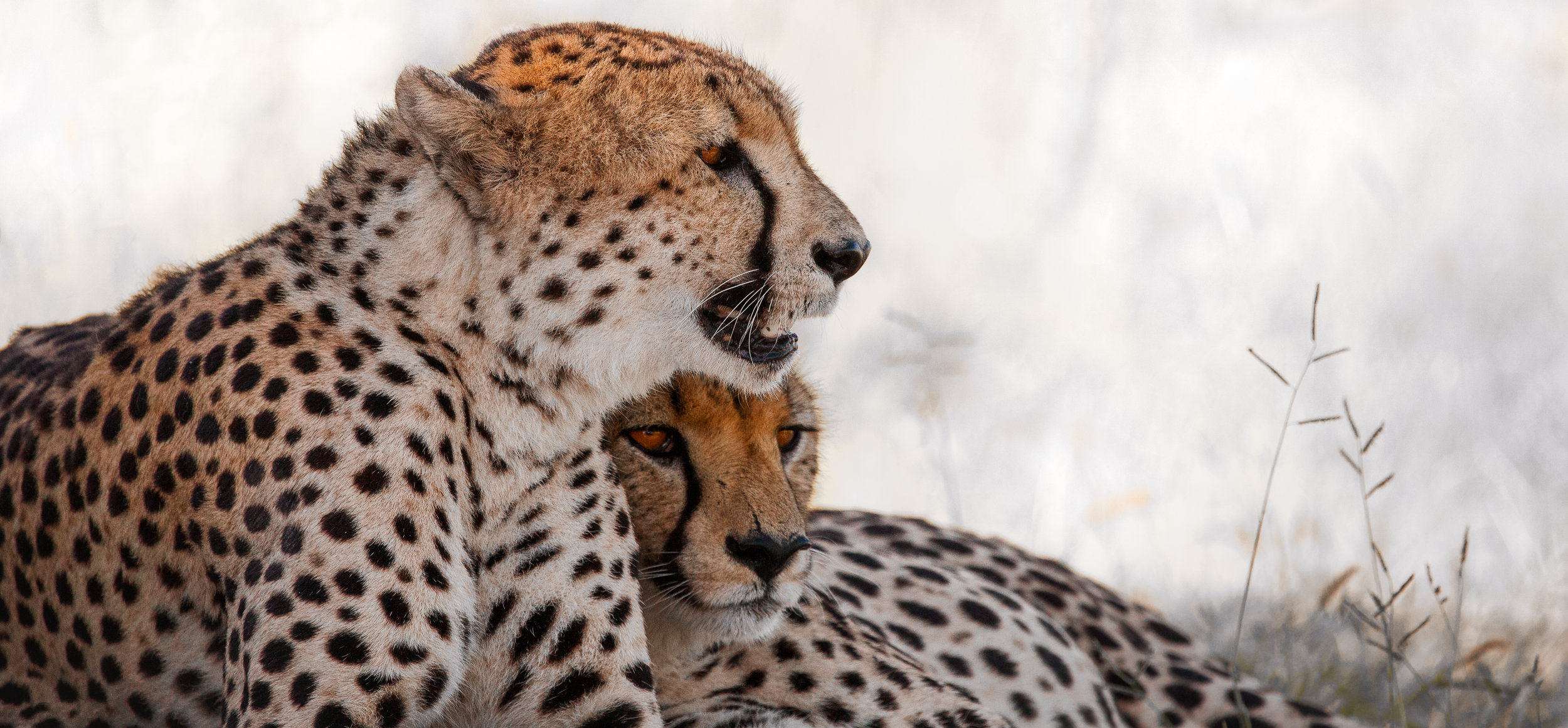 Cheetah Brothers Copyright 2