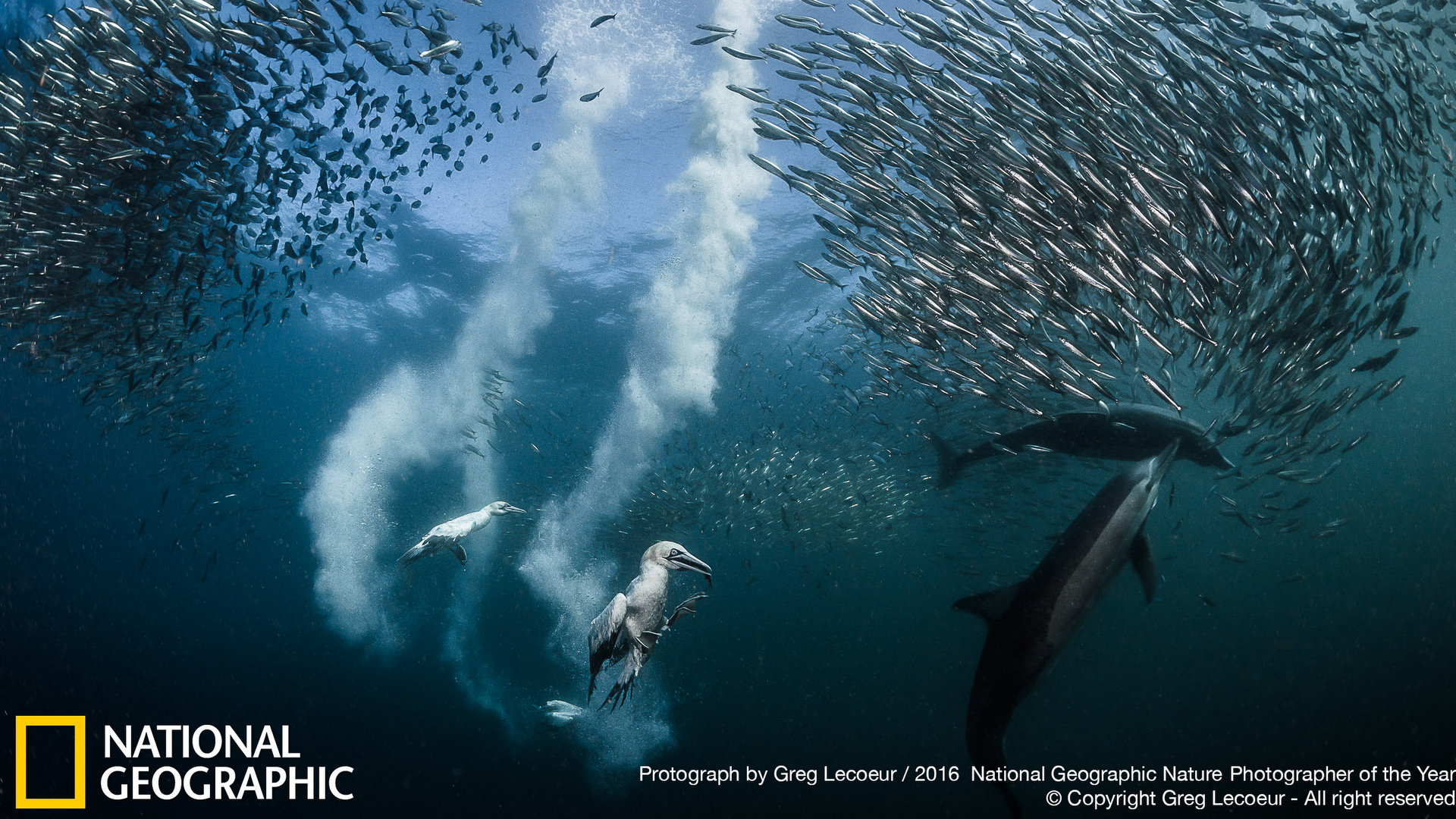 Sardine_run_national_geographic_photographer_of_the_year.jpg
